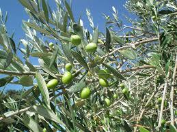 olivier-centenaire
